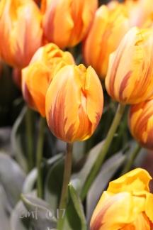 tulip1007sig